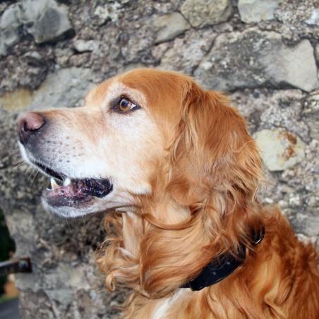 Goldie le golden retriever avec son collier en cuir made in france bochiro