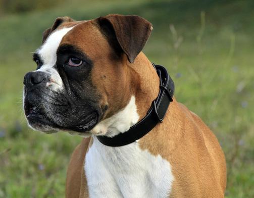 collier en cuir pour chien de race boxer